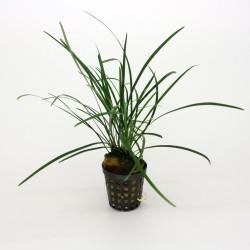 Ophiopogon japonicum