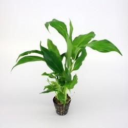 Spatyphylum wilisi
