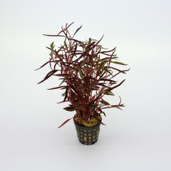 Alternanthera colorata RED