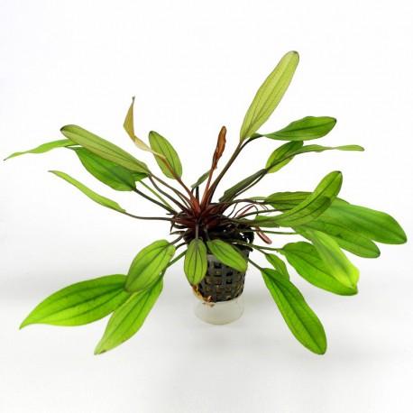 Echinodorus Jani
