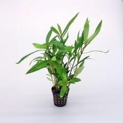 Hygrophila Salicypholia