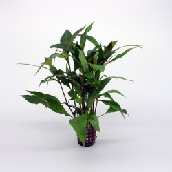 Hygrophila Thailand